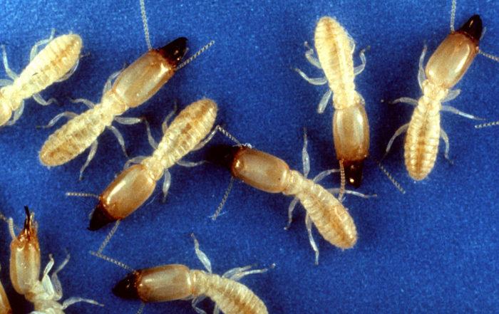 termites-wood-post