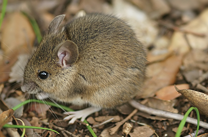 Exterminate Rodents with professional mice pest control company in Carlisle PA for homes and businesses.