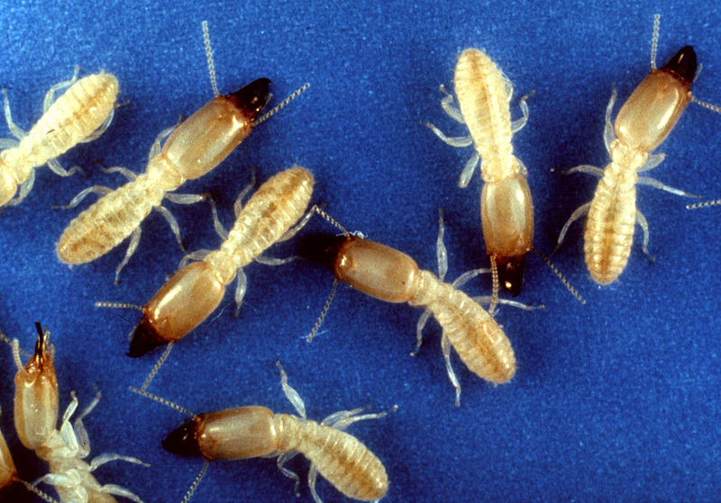 Local Termite control Accredited Wood Destroying Insect Inspectors for WDI real estate inspections for Carlisle, Mechanicsburg and all of Central PA.